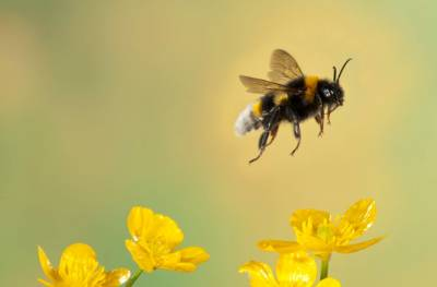 dnews-files-2013-10-bumble-bee-stress-colony-colapse-jpg
